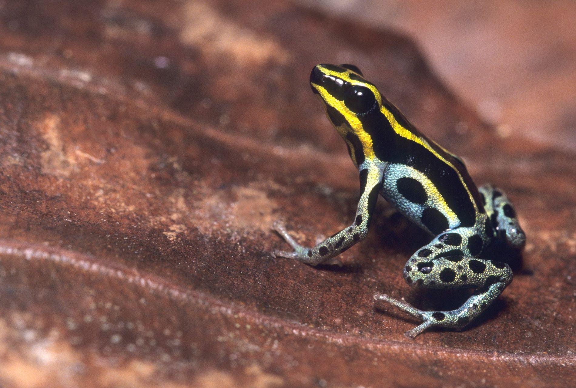 Connue sous le nom de grenouille venimeuse de l'Amazonie et sous celui de grenouille venimeuse de ...