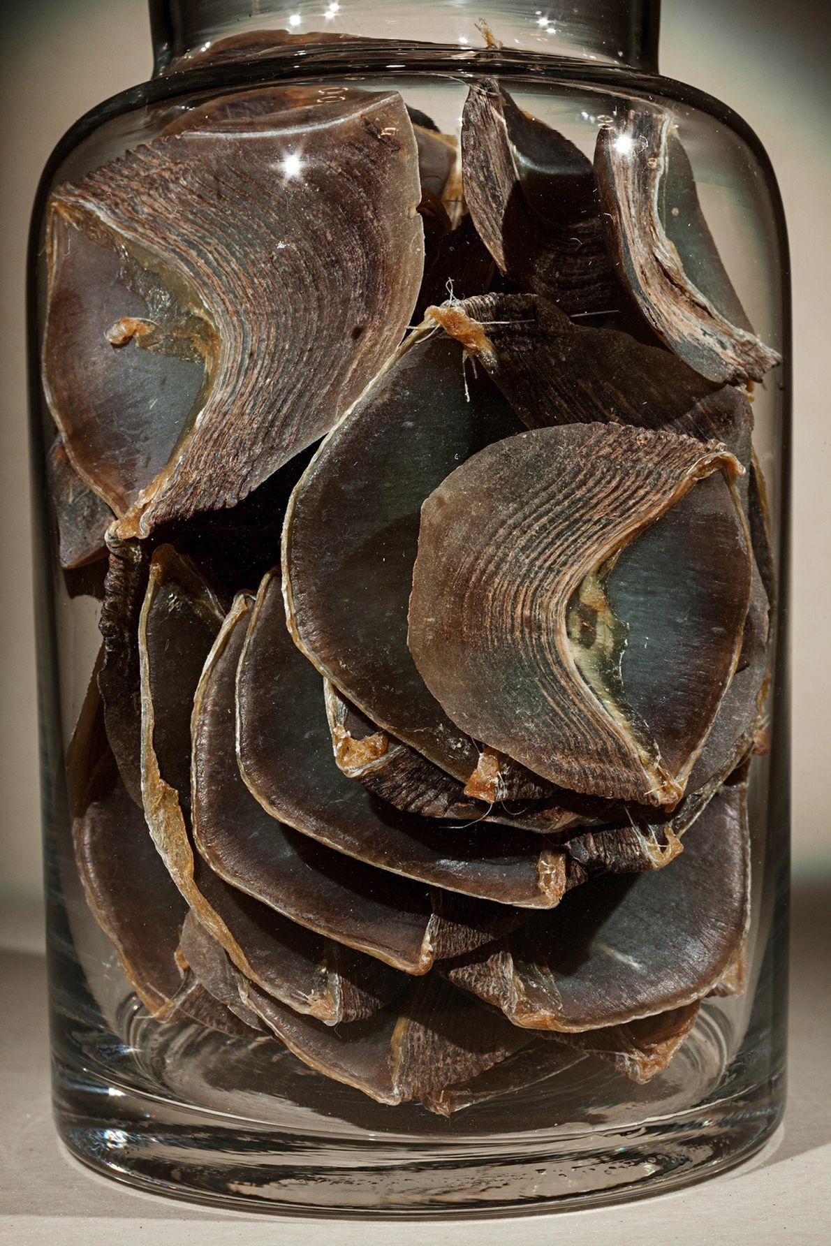 Les écailles de pangolin de ce pot sont utilisées dans certains anciens remèdes chinois. On pense ...