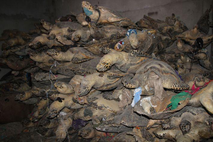 Les tortues imbriquées, menacées d'extinction, sont très demandées en Asie pour les écailles de leur carapace.