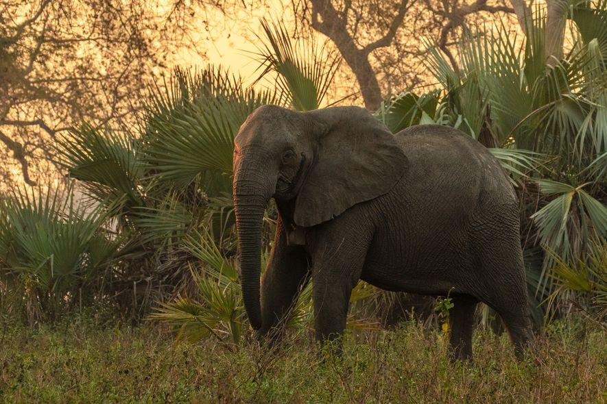 Une éléphant femelle sans défenses, ici photographiée dans une forêt du parc national de Gorongosa, a été équipée d'un collier GPS afin que les chercheurs puissent suivre ses mouvements et mieux comprendre son comportement.