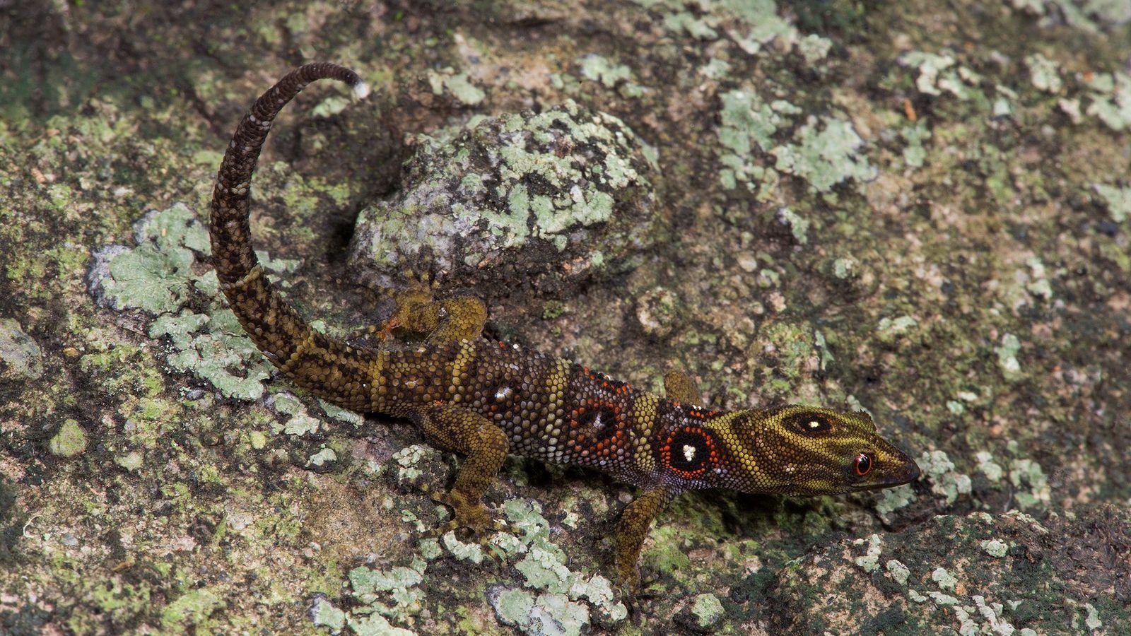 Le gecko de l'île d'Union a été présenté scientifiquement pour la première fois en 2005. Depuis, ...