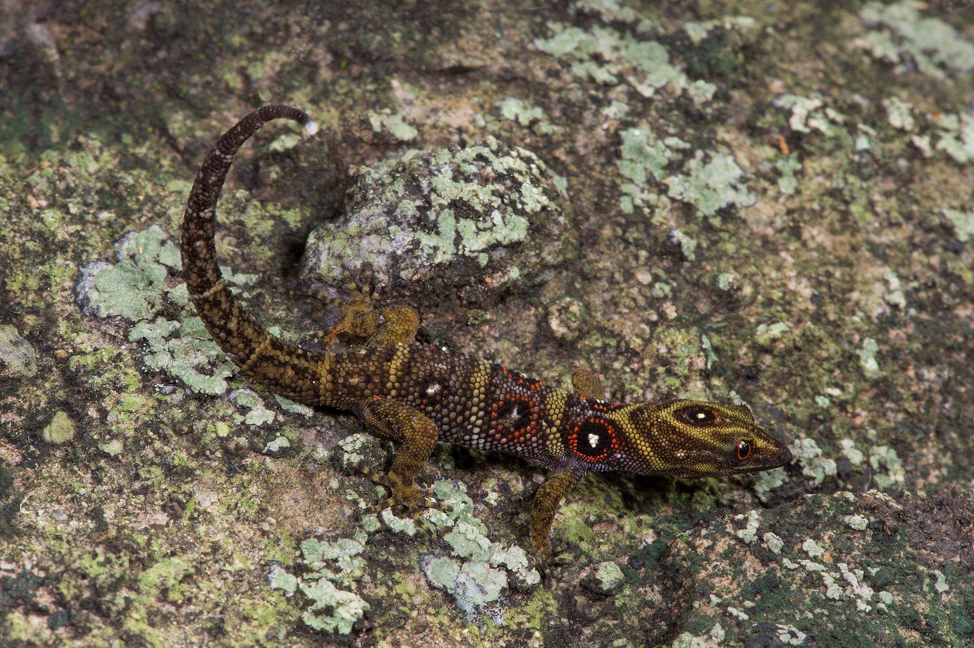 Le gecko de l'île d'Union a été présenté scientifiquement pour la première fois en 2005. Depuis, les braconniers ont passé de nombreux spécimens en contrebande de Saint-Vincent et les Grenadines afin de les proposer sur le marché des animaux domestiques. Aujourd'hui, le nombre de représentants de cette espèce pourrait ne pas dépasser les 10 000.