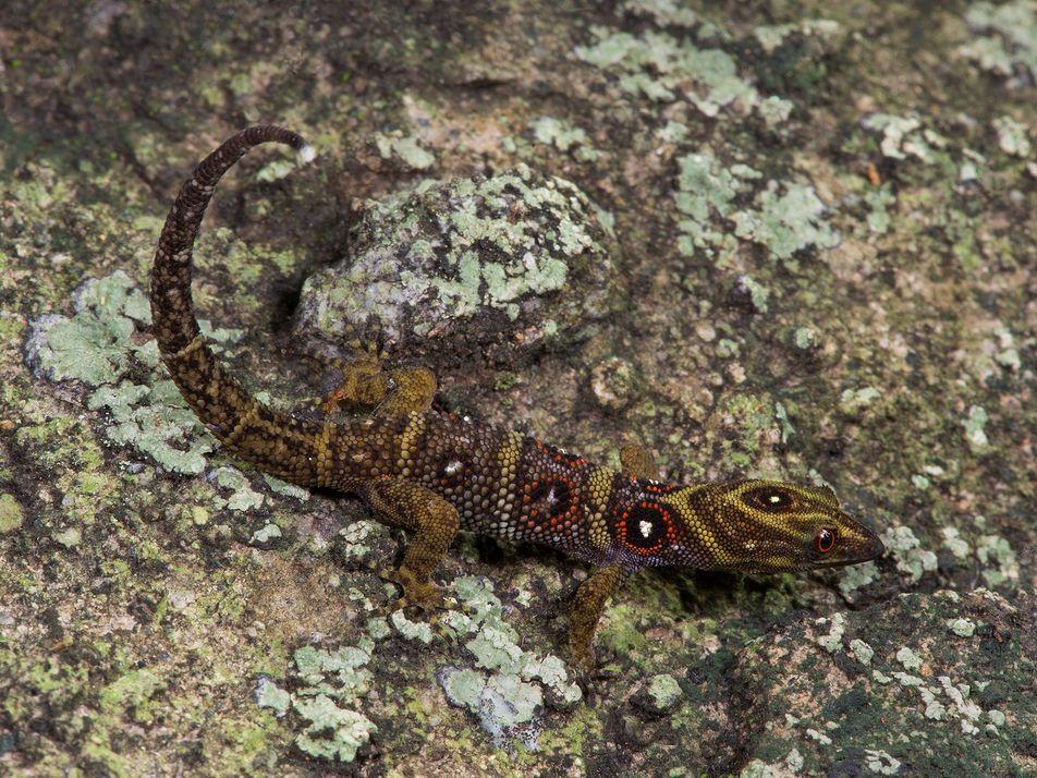 Ce gecko est devenu un animal de compagnie convoité... et une espèce menacée