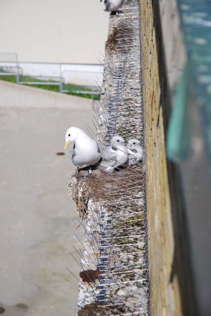 Les habitants de la ville posent des pics pour décourager les mouettes d'installer leurs nids dans ...