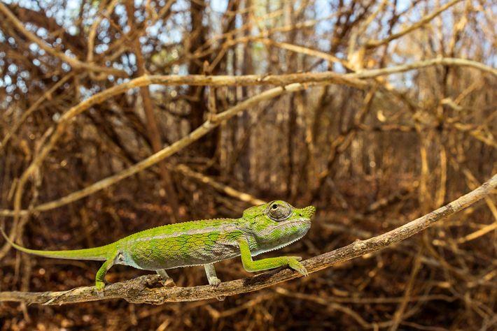 Un jeune caméléon de l'espèce Furcifer labordi au sein de son habitat naturel, la forêt aride ...
