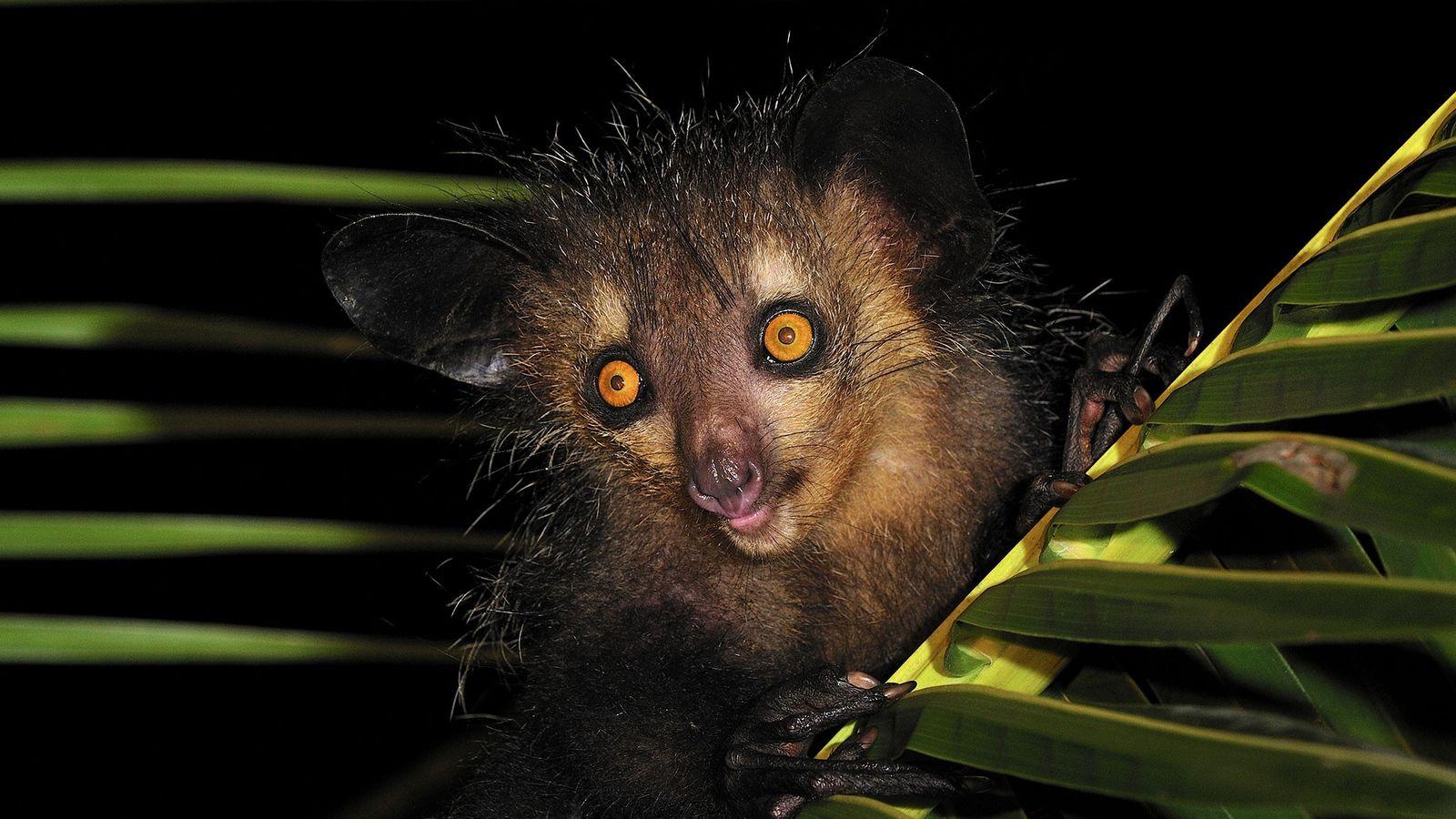 Dans l'est de Madagascar, un aye-aye s'accroche à un palmier. Autrefois, apercevoir un aye-aye était considéré ...