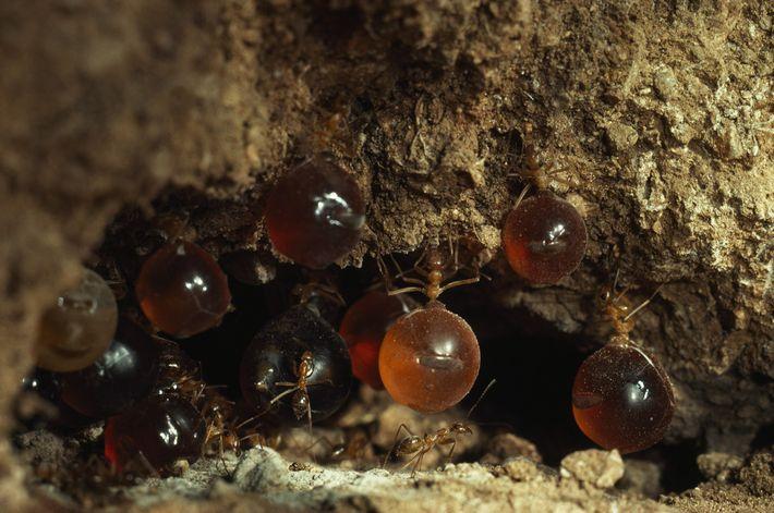 Des fourmis de l'espèce Myrmecocystus mexicanus, surnommées « fourmis pot-de-miel ».