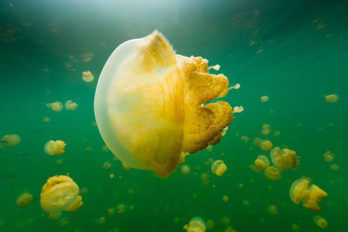 Chaque jour, les méduses dorées suivent le soleil pour se déplacer dans le Lac aux Méduses, ...