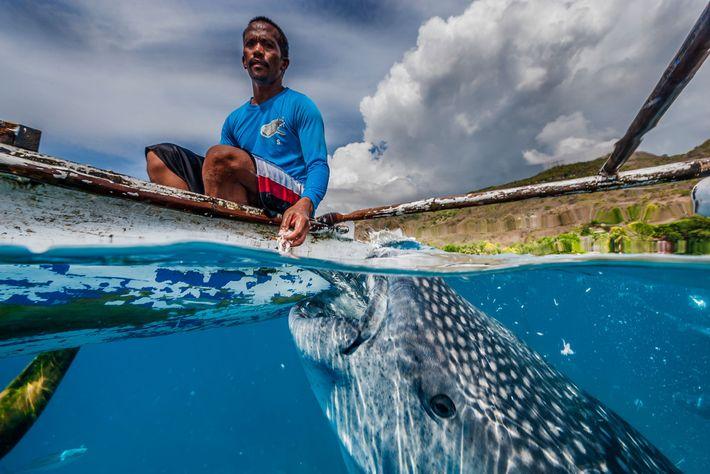 La majorité des requins-baleines qui passent par Oslob sont de jeunes mâles. Si la plupart d'entre ...