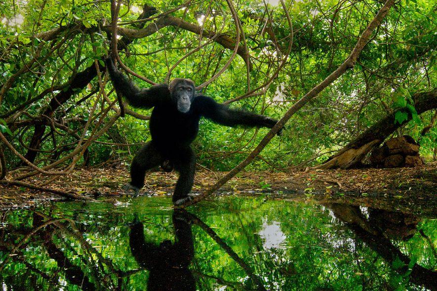 Aujourd'hui, 27 pays font l'objet de sanctions commerciales sur les espèces sauvages pour non-conformité avec la CITES. La Guinée, par exemple, est interdite de commerce pour les milliers d'espèces listées au traité depuis 2013, et ce, principalement en raison du commerce illégal de grands singes protégés comme le chimpanzé, que l'on voit ici sur cette photographie prise au Sénégal.