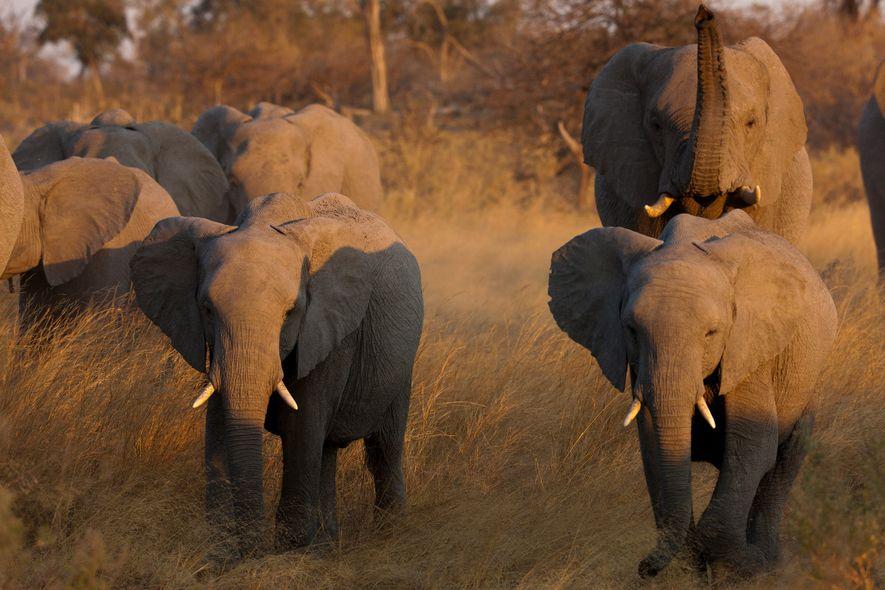 L'interdiction du commerce d'ivoire en Chine est devenue effective le dernier jour de l'année 2017. Hong Kong s'est engagé à mettre un terme à son marché de l'ivoire en 2021.