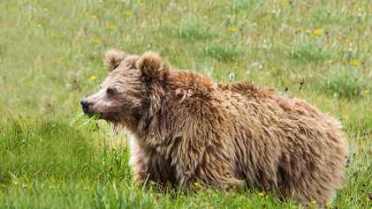 Le légendaire Yéti serait en fait un ours brun de l'Himalaya