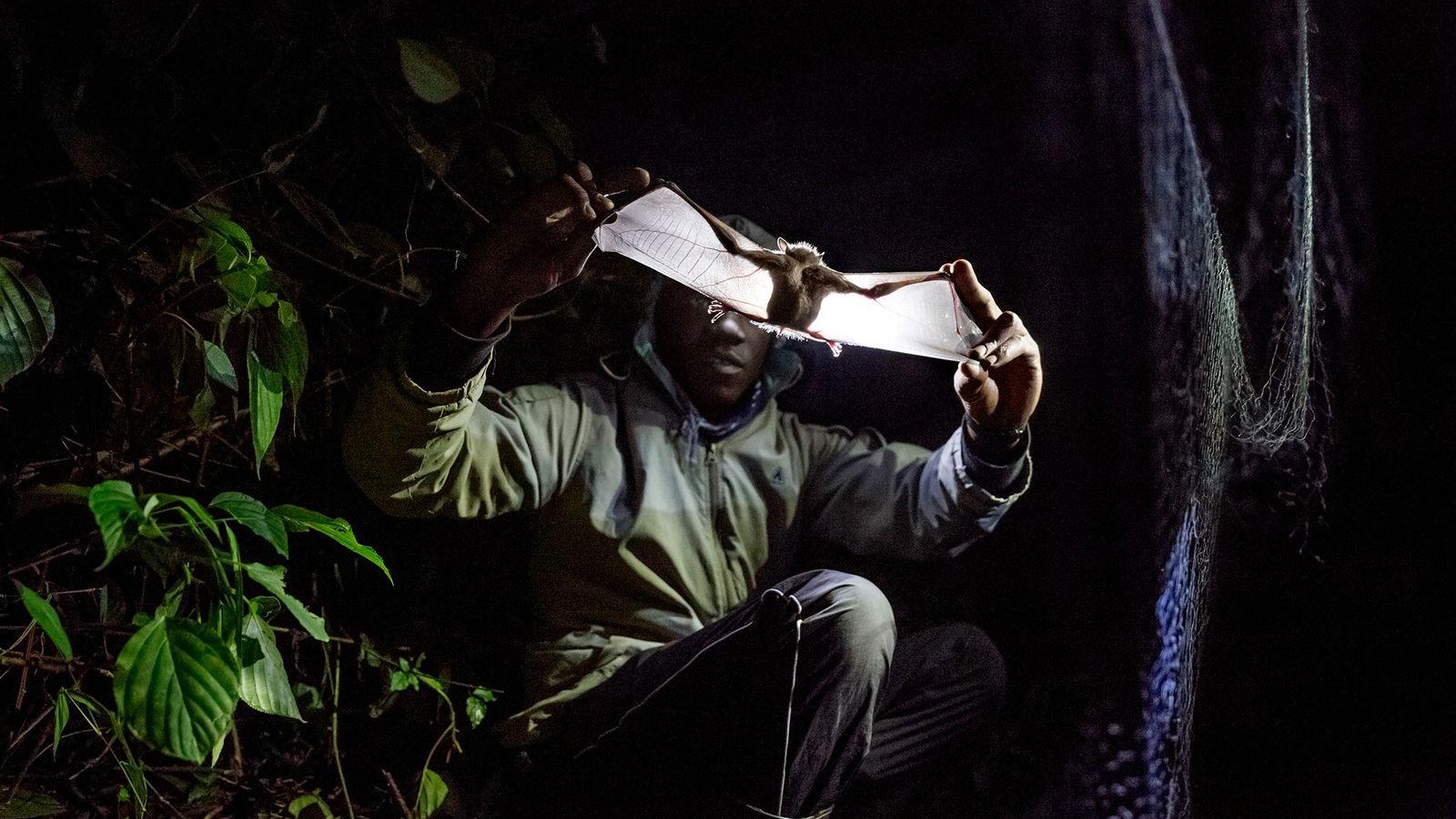 Ouganda - Un chercheur examine une chauve-souris pour détecter des signes de paludisme, de Zika et ...