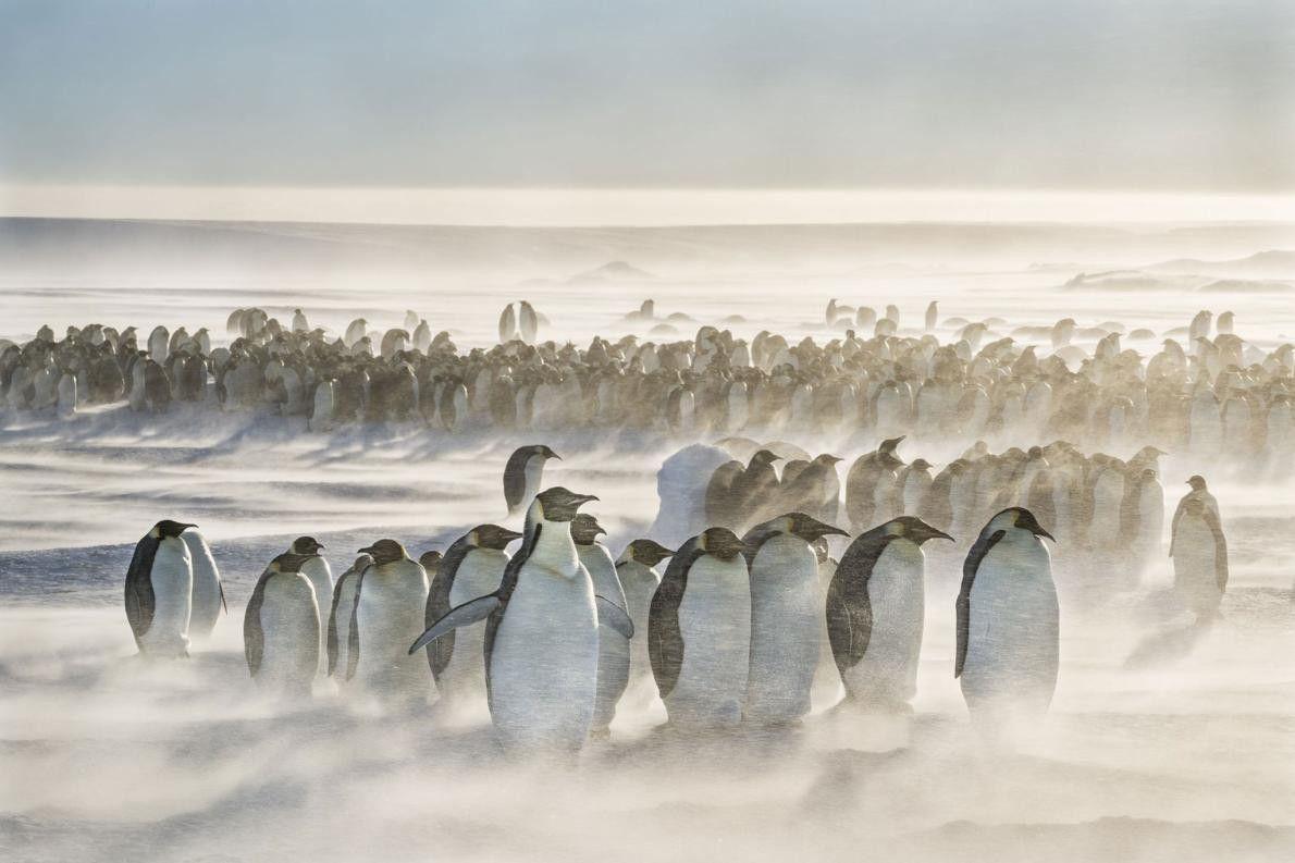 « Une colonie de manchots empereurs brave des vents de 46 km/h à Gould Bay, en ...