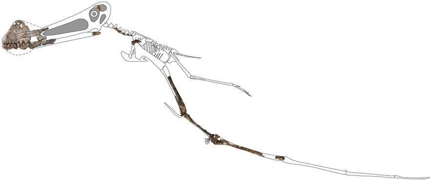 Cette reconstruction du squelette de Ferrodraco intègre les nouveaux os fossilisés conservés en trois dimensions. Bien ...