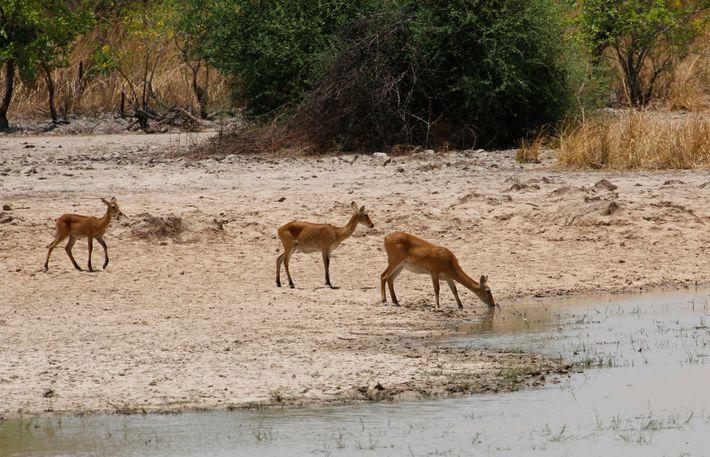 Des femelles impalas s'abreuvent dans le parc national de la Pendjari, au Bénin.
