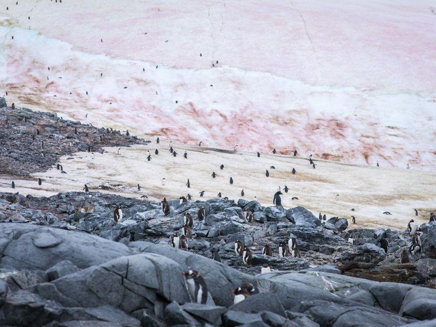 Les manchots papous se rendent à leur nid à Port Charcot, en Antarctique.