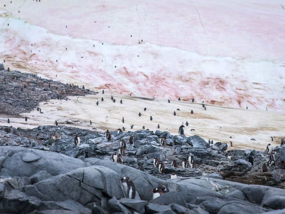 Les manchots papous de l'Antarctique