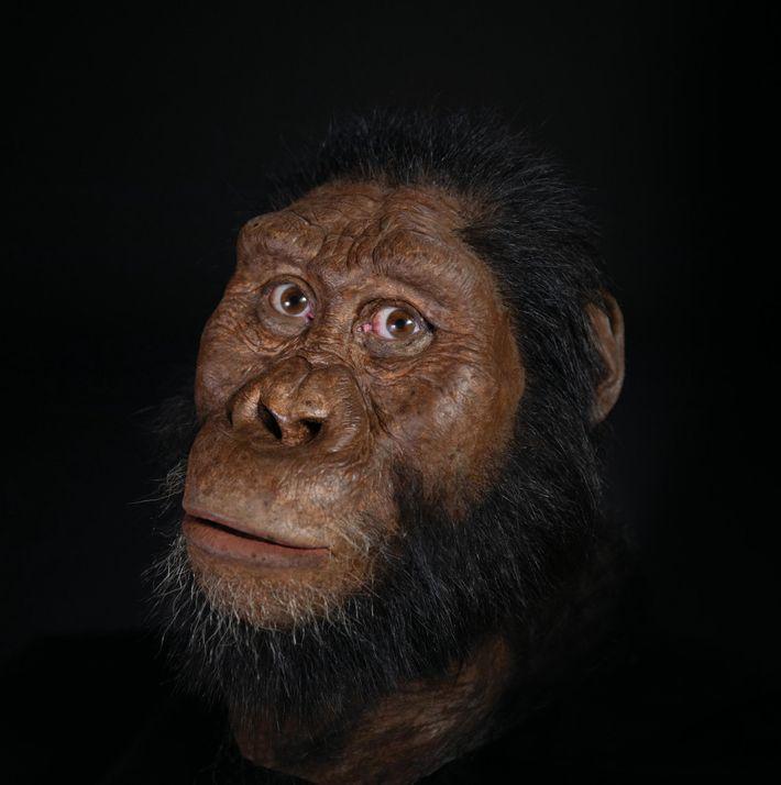 Le paléoartiste John Gurche a reconstitué le visage de A. ananmensis, à partir des scans du ...