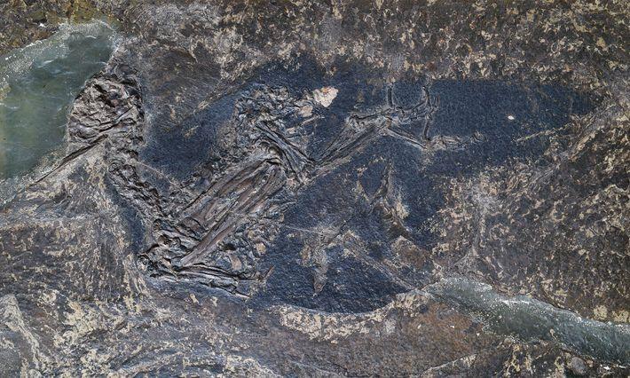 Les chercheurs ont prélevé des échantillons de ce fossile de Eocoracias brachyptera dans l'espoir de trouver ...