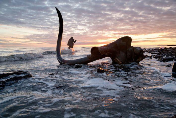 Une défense de mammouth immaculée est découverte toujours attachée au crâne.