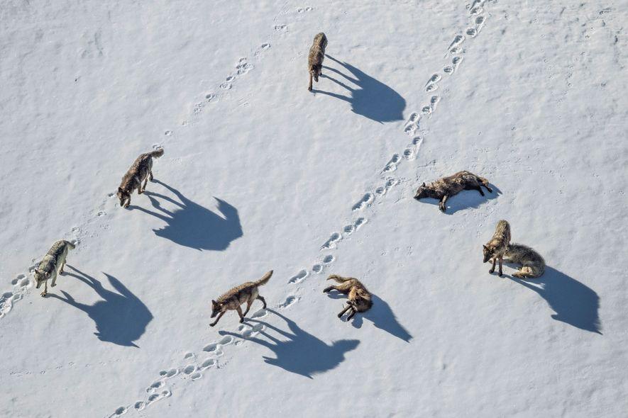 Une meute de loups suit un ours dans le Parc National de Yellowstone.