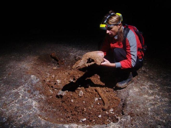 Une chercheuse tient entre ses mains le crâne d'un ours des cavernes (Ursus spelaeus). Ces ours ...