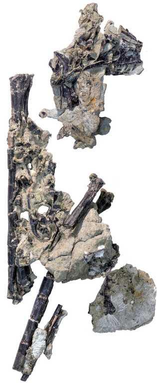 Ces fossiles sont ceux de « Lori » dont le nom scientifique est Hesperornithoides miessleri. Cet ...