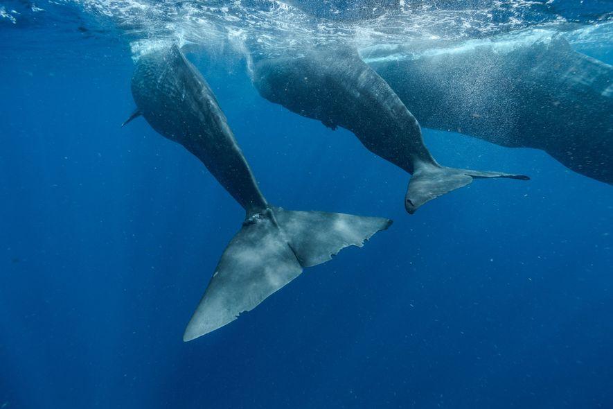 Digit, à gauche, nage aux côtés du jeune cachalot Corkscrew et de la mère de ce ...