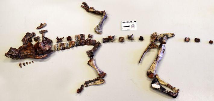Ce squelette de Dynamosuchus collisensis a été découvert près de Porto Alegre, au Brésil.