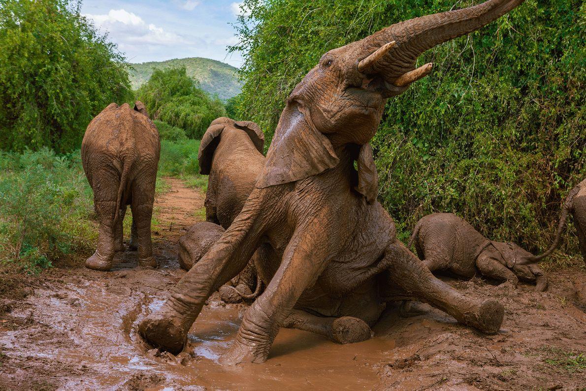 Les éléphants prennent régulièrement des bains de boue afin de se rafraîchir et de se débarrasser ...