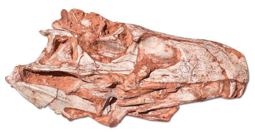 Le fossile du crâne de Gnathovorax a été mis au jour à São João do Polêsine, ...