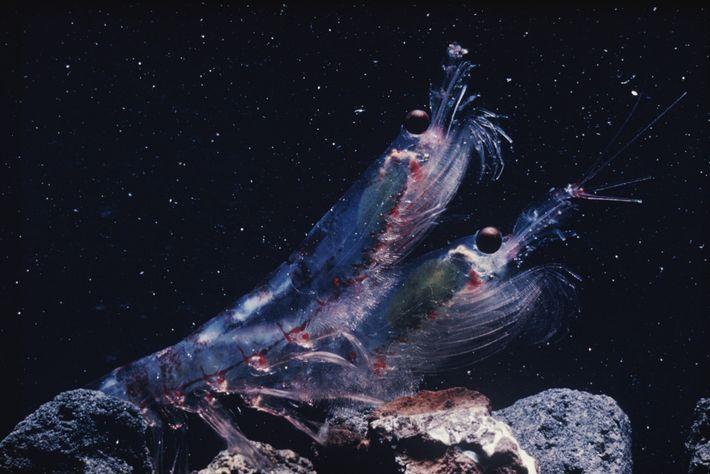 Le krill est la base à d'une chaîne alimentaire qui soutient de nombreux animaux marins, allant ...