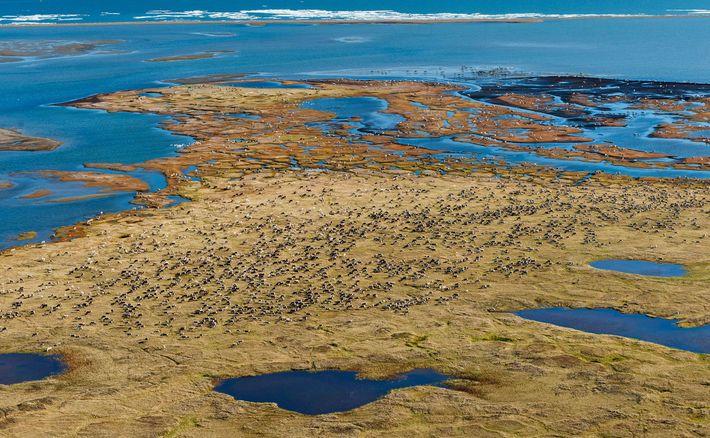 Au printemps, les rennes transhument vers la plaine côtière de la réserve. Pendant plusieurs semaines, ils ...