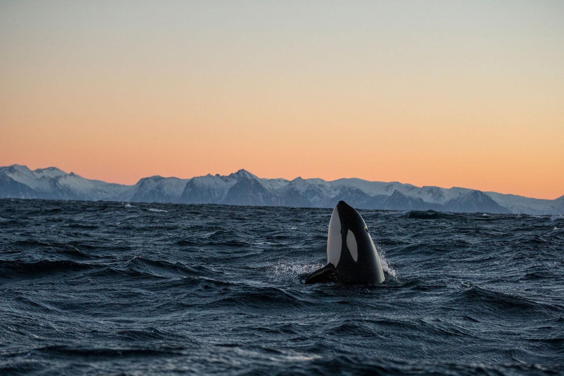 Une orque sort la tête de l'eau dans le fjord d'Andfjorden en Norvège.
