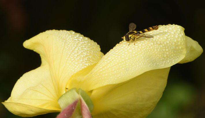 Un syrphe marron et jaune se repose sur une onagre bisannuelle couverte de rosée au Royaume-Uni. ...