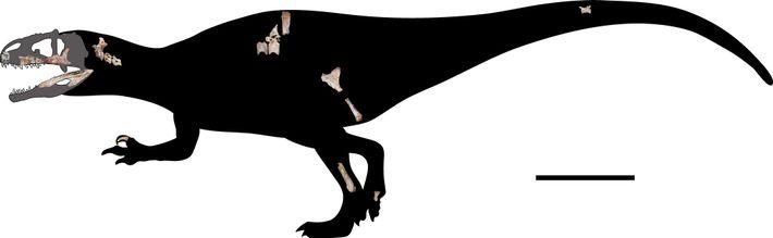 Les chercheurs ont remis à l'échelle les 22 nouveaux fossiles pour les intégrer à cette reconstruction ...