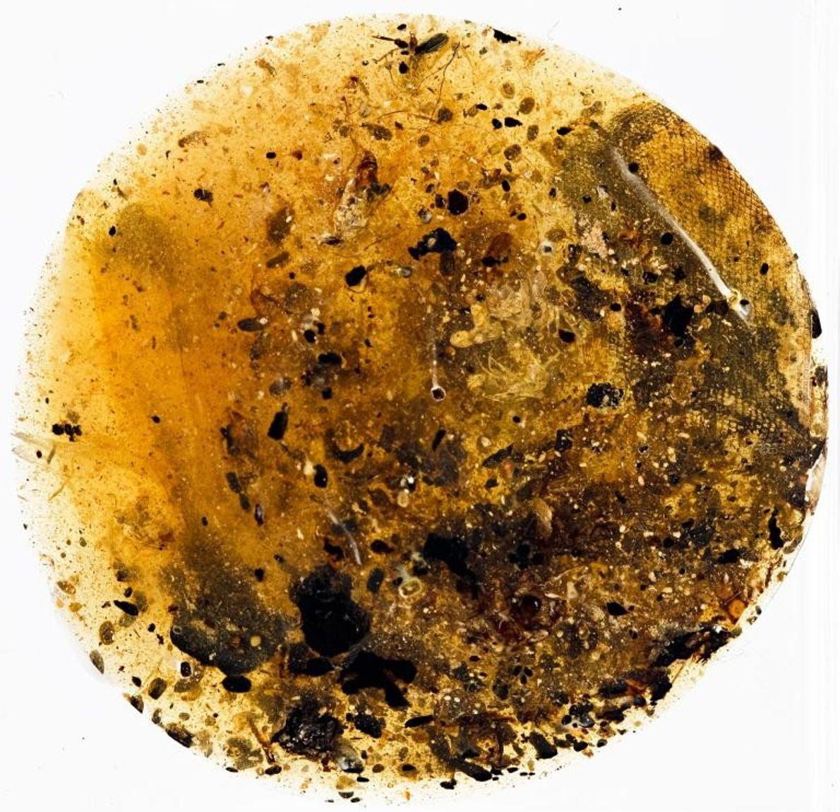 Un deuxième morceau d'ambre contient ce qui semble être un bout de peau de serpent entouré, ...
