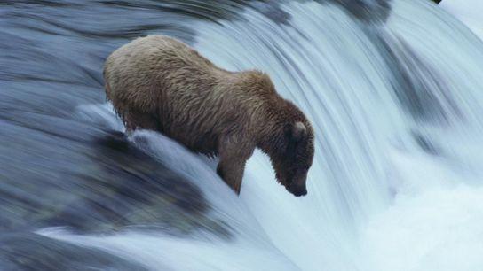 Un grizzly patauge au bord d'une chute d'eau. Les animaux sont protégés par la loi américaine ...