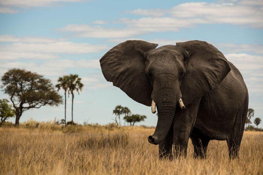 Si les éléphants d'Afrique (ci-dessus, l'un d'eux au Botswana) sont gris, c'est surtout leur âge qui ...