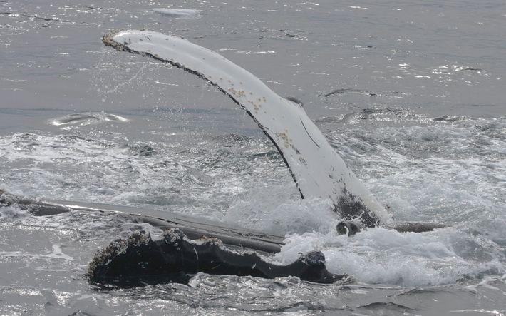 Un phoque de Weddel se repose sur la poitrine d'une baleine à bosse, à l'abri pour ...