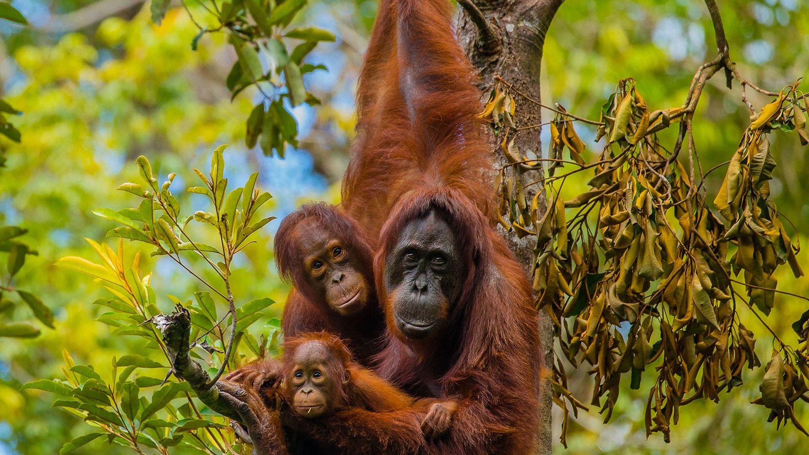 Une famille d'orang-outans de Bornéo en pleine balade arboricole au Camp Leakey dans le parc national ...