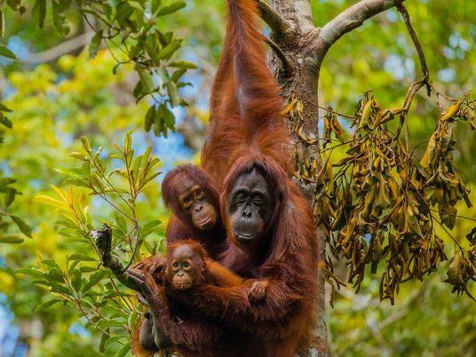 Vidéo : à Bornéo, aux côtés des derniers orangs-outans