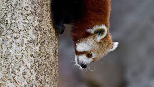 Ces photos de panda roux qui feraient fondre n'importe qui