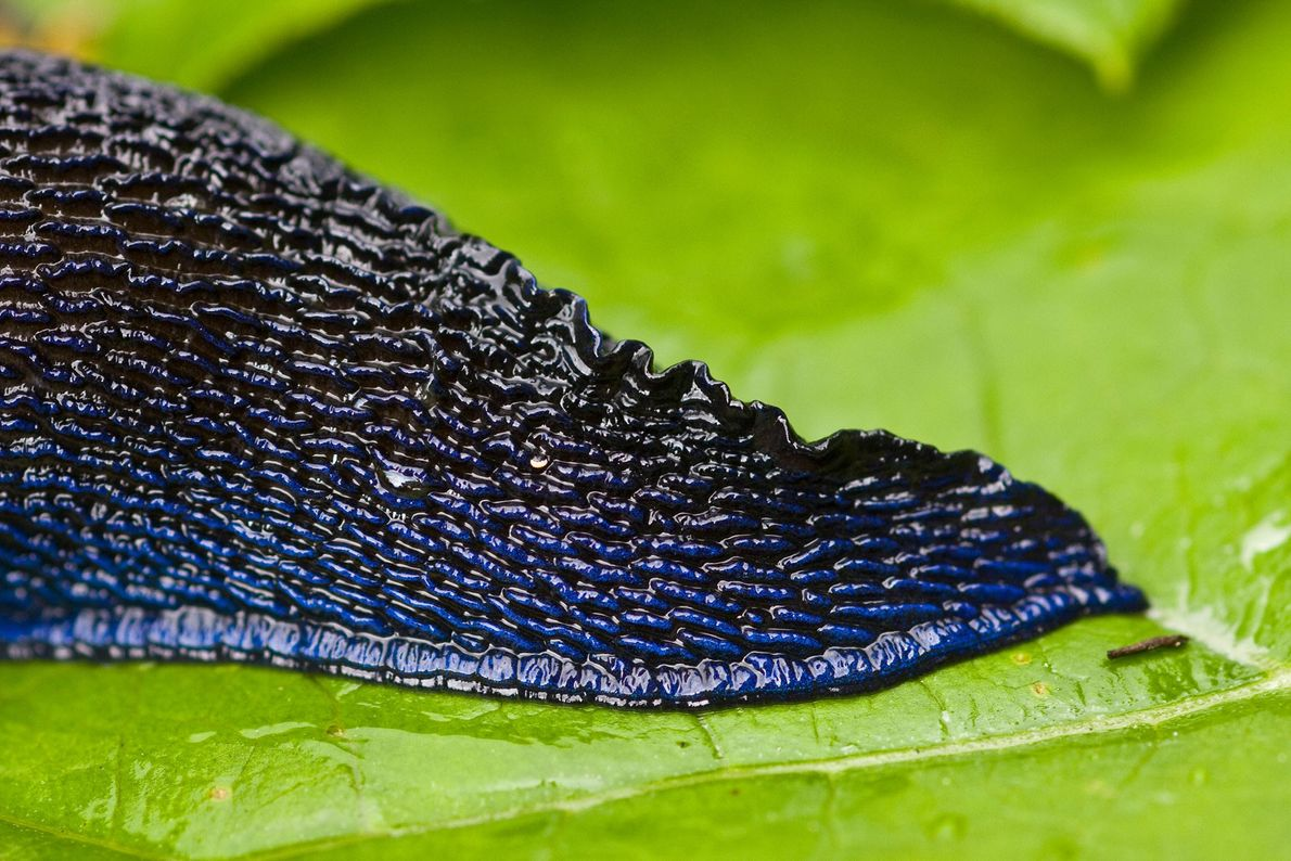 Gros plan sur la queue de Bielzia coerulans, originaire d'Europe de l'Est.
