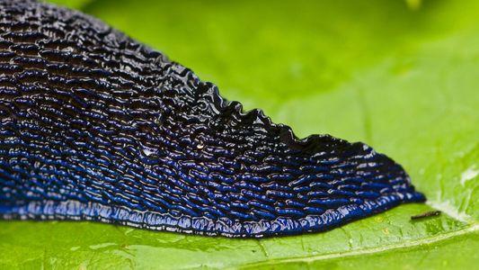 Gros plan sur les limaces
