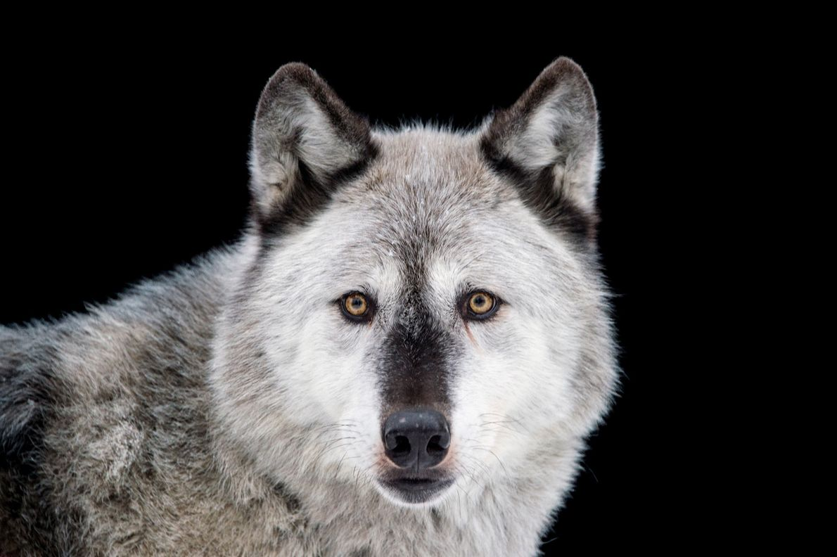 03-alaska-refuge-grey-wolf