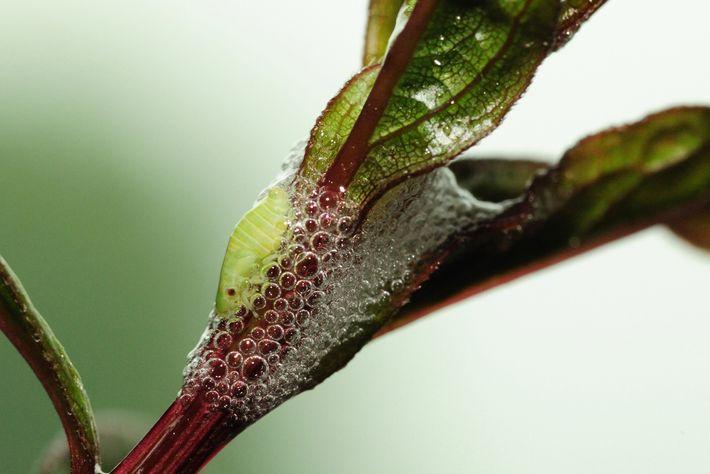La larve surnommée « crachat de coucou » trône au milieu d'un coussin de bulles, semblable ...