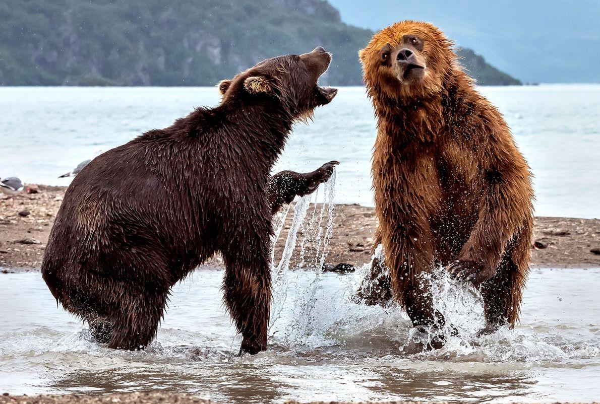 Deux ours bruns se chamaillent à Kamchatka, en Russie.