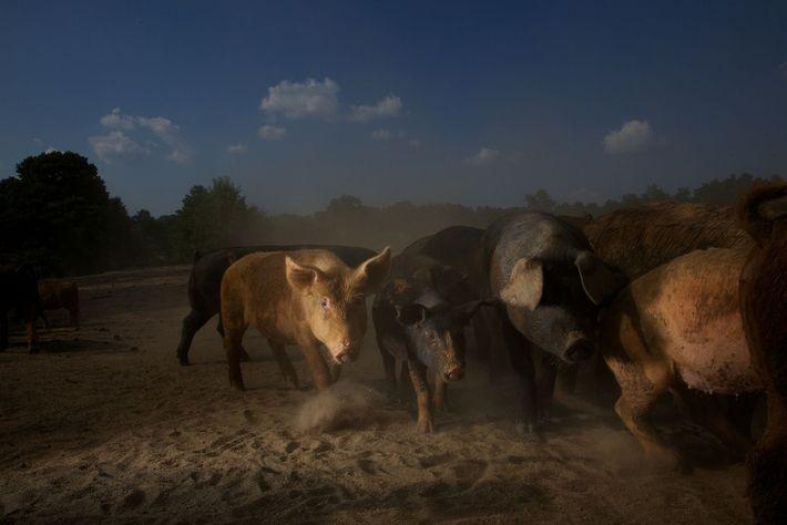 Desporcs domestiques errent en Colombie-Britannique, en Caroline du Sud.Les porcs ont été identifiés comme l'un des ...